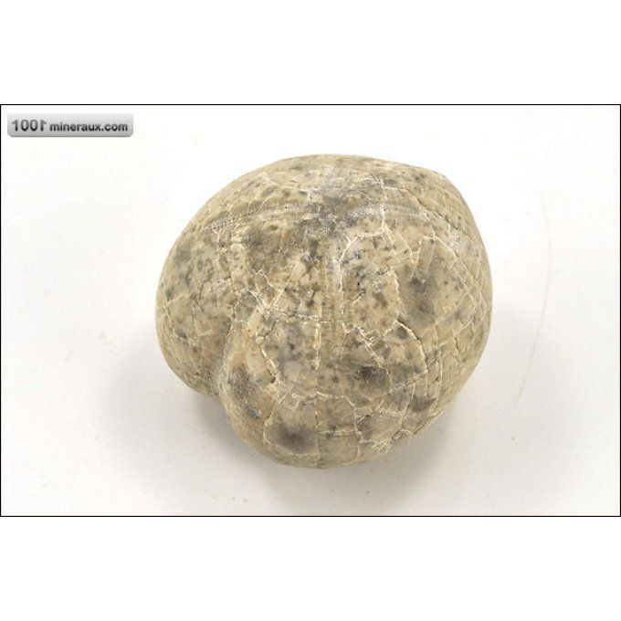 Oursin fossile micraster - Espagne - Fossiles 4,2 cm / 75g / AJ265